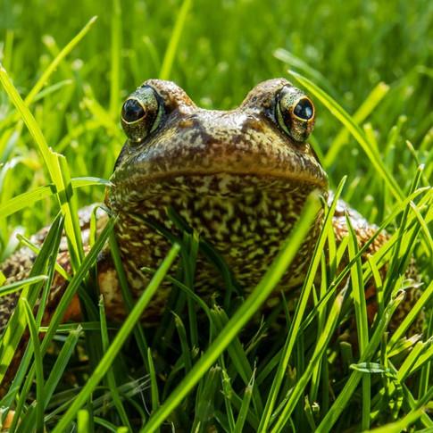 Common Frog >>