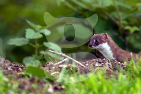 Stoat in the morning