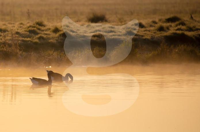 Greylag Geese in mist