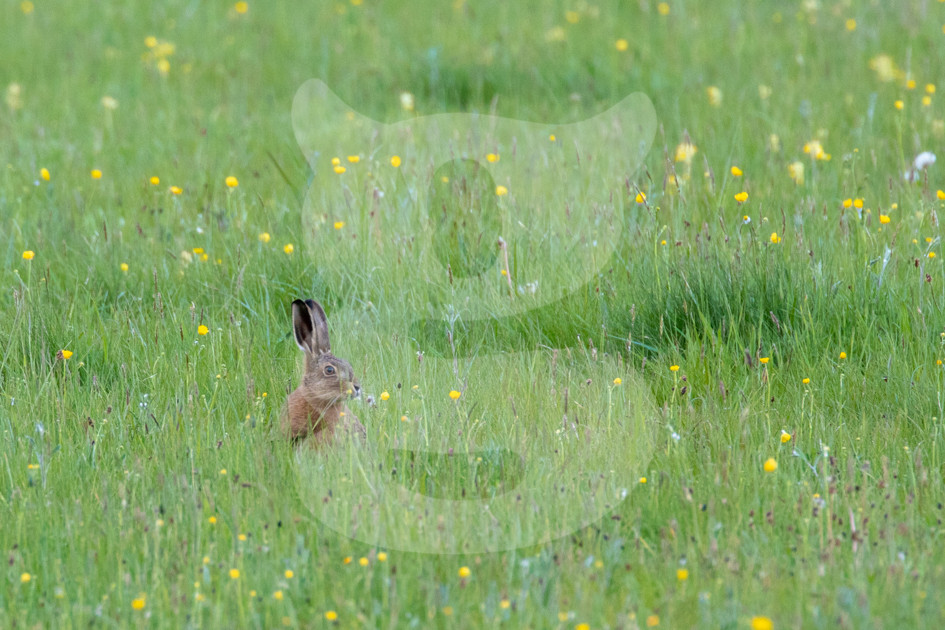 Young hare in meadow