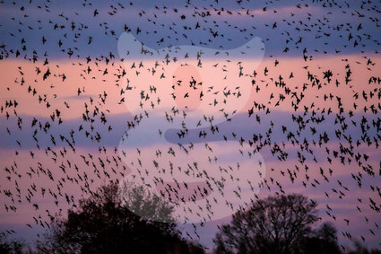 Starling Mumuration