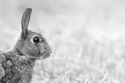 Rabbit black and white
