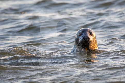 Grey seal looking out the water