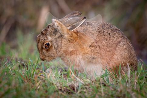 Bashful brown hare