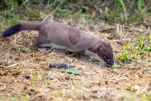 Sniffing stoat