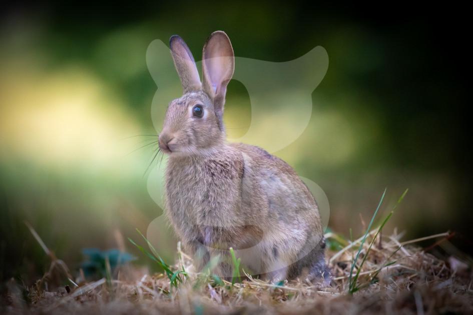 Rabbit on alert