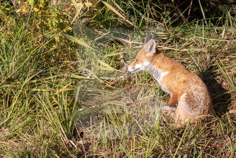 Fox in reeds
