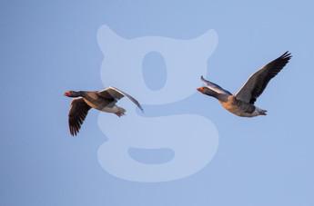 Greylag Geese in flight
