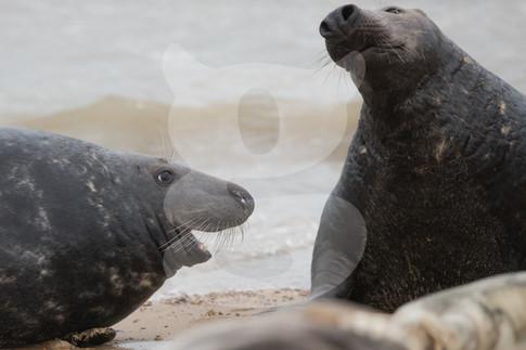 Grey seal characters