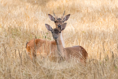 Pair of young fallow in cornfield