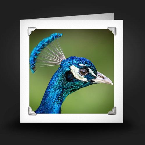 Beautiful Blue Peacock - Greetings Card