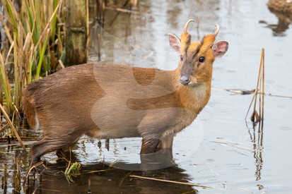 Muntjac in water