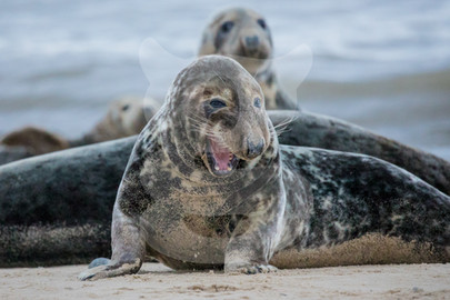 Snarling grey seal
