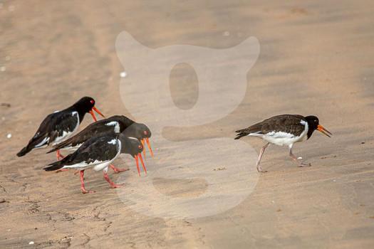 Oystercatcher mating dance