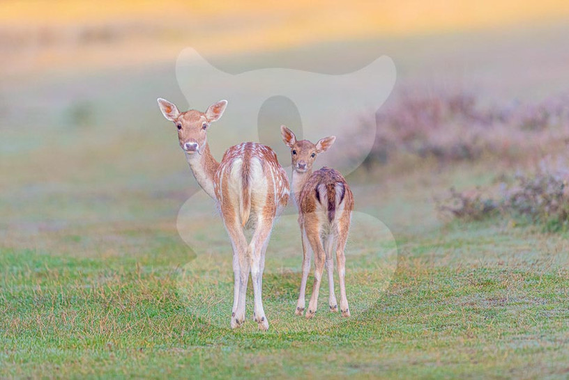 Fallow doe with fawn