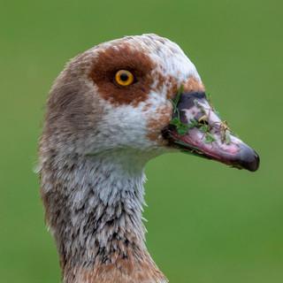 Egyptian Goose >>