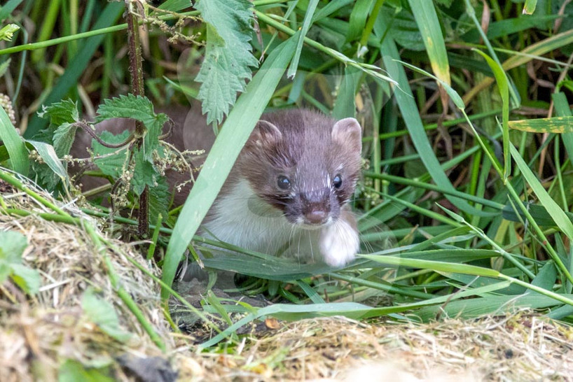 Stoat coming out fo the grass