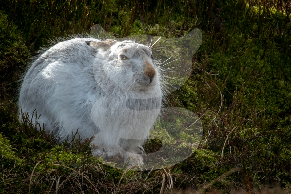 Mountain Hare, Peak District