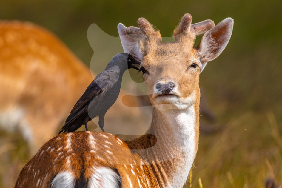 Cheek to beak, young fallow with jackdaw