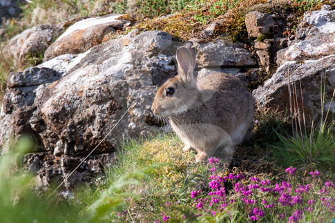 Rabbit on a quarry side