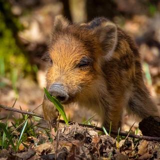 Wild Boar >>