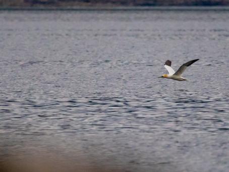 White-tailed Eagle vs the Gannet