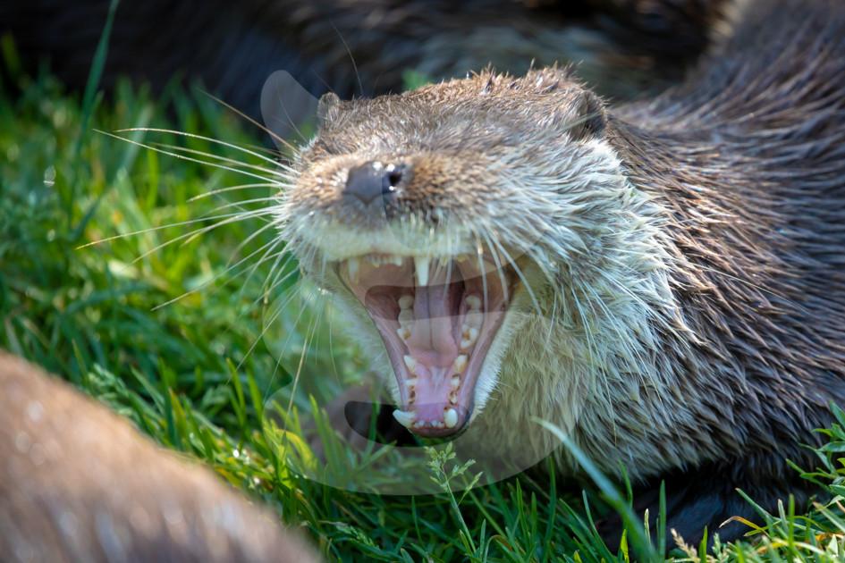 Yawning otter