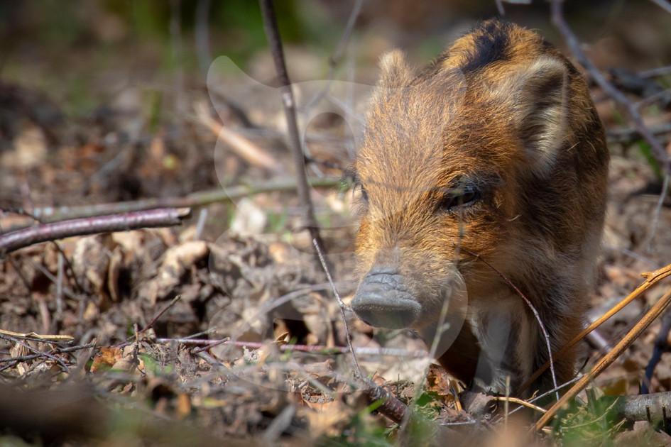Wild boar humbug