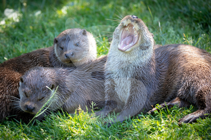 Tired otters