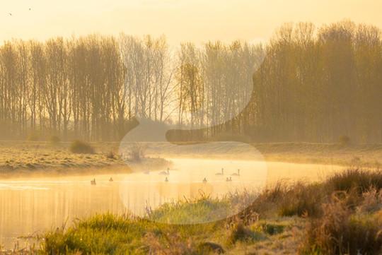 Misty Morning Mute Swans