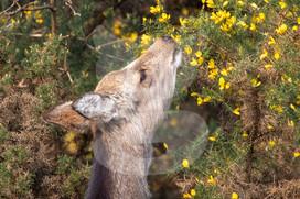 Sika deer smelling gorse flowers