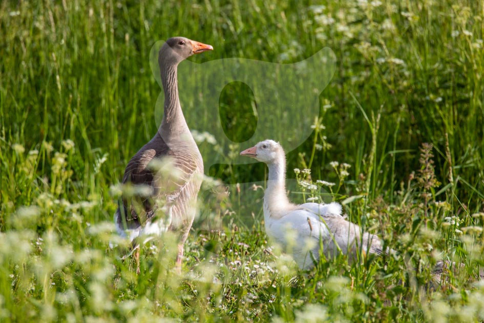 Greylag Geese, Leucistic