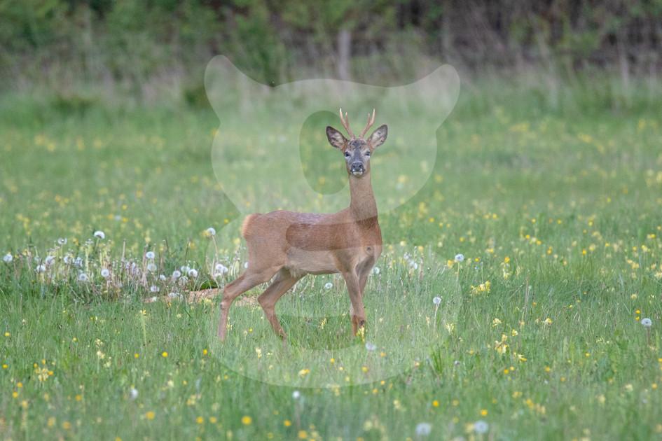 Alert roe deer stands in a meadow