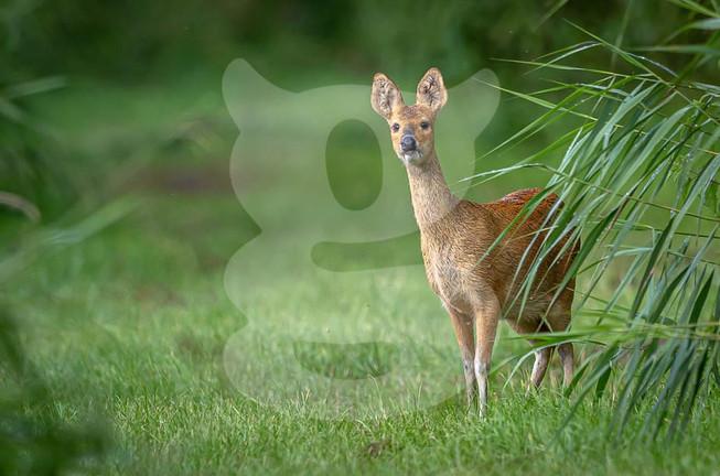 Chinese Water Deer, Norfolk