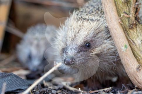 One eyeed hedgehog with hoglet