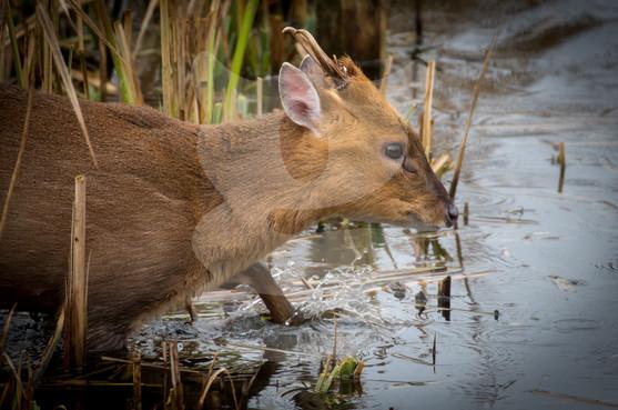 Muntjac wading through water