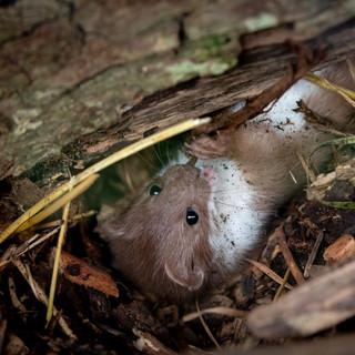 Weasel >>