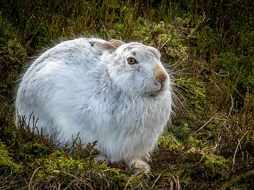 Wise old Mountain Hare