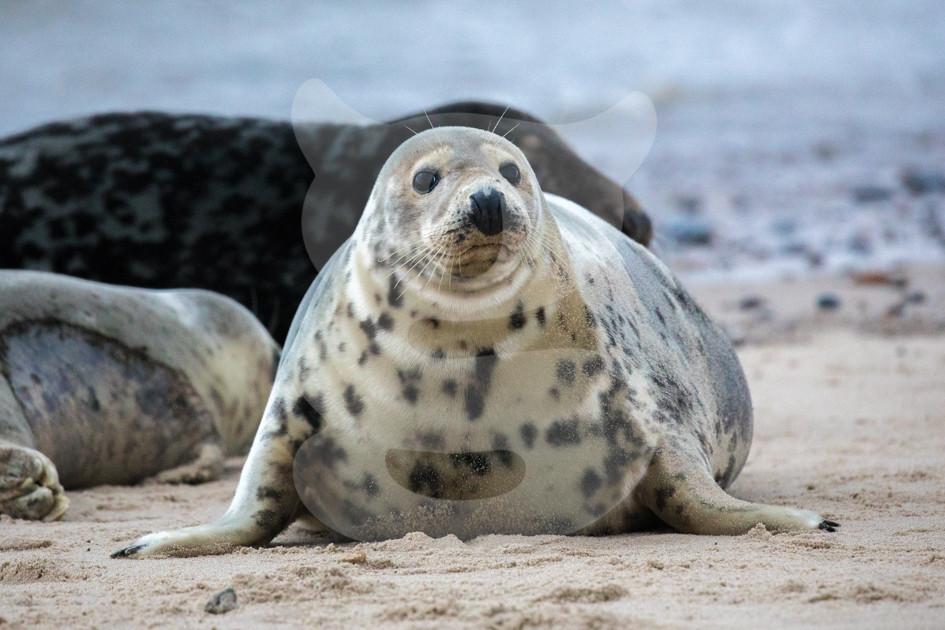 Grey seal, Norfolk