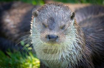 Grumpy otter