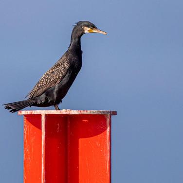 Great Cormorant >>