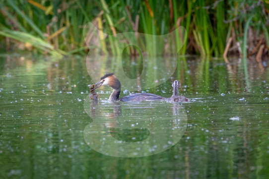 Great Crested Grebe feeding juvenile