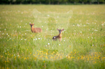 Pair of muntjac in a meadow