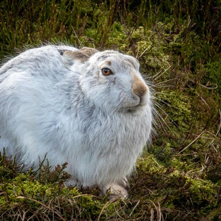 HARE - Mountain Hare >>