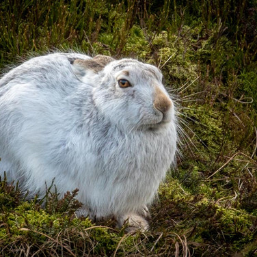 HARE - Mountain Hare >>