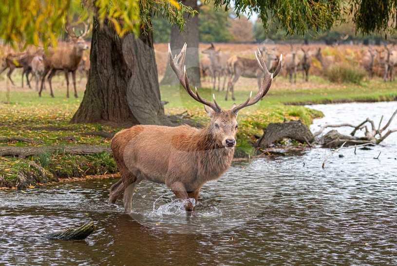 Red Deer crossing water