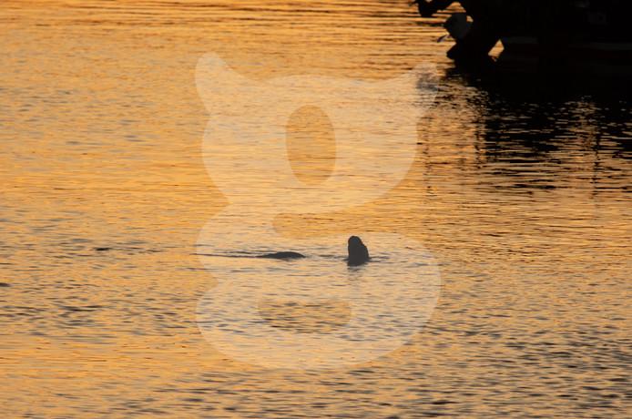 Otter swimming at sunset, Isle of Mull