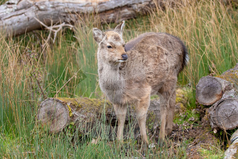 Sika deer, Brownsea Island