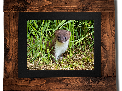 Young Stoat - Framed artwork
