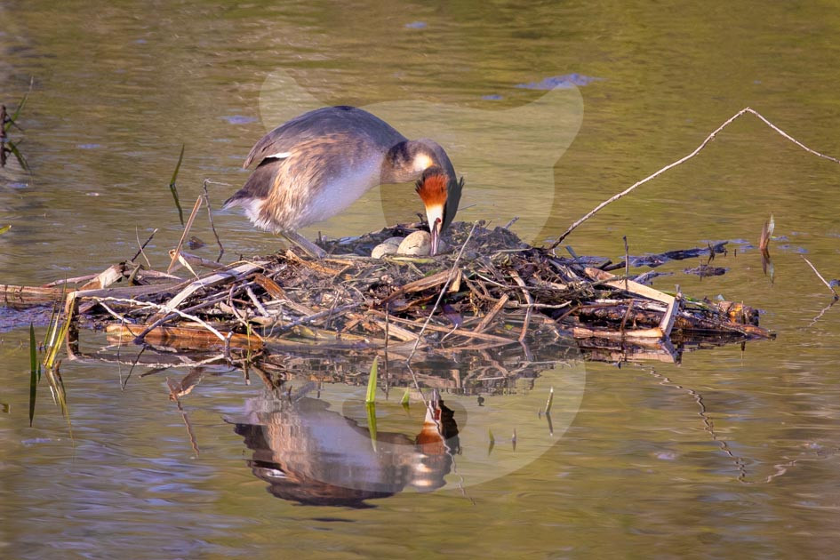 Great Crested Grebe on nest